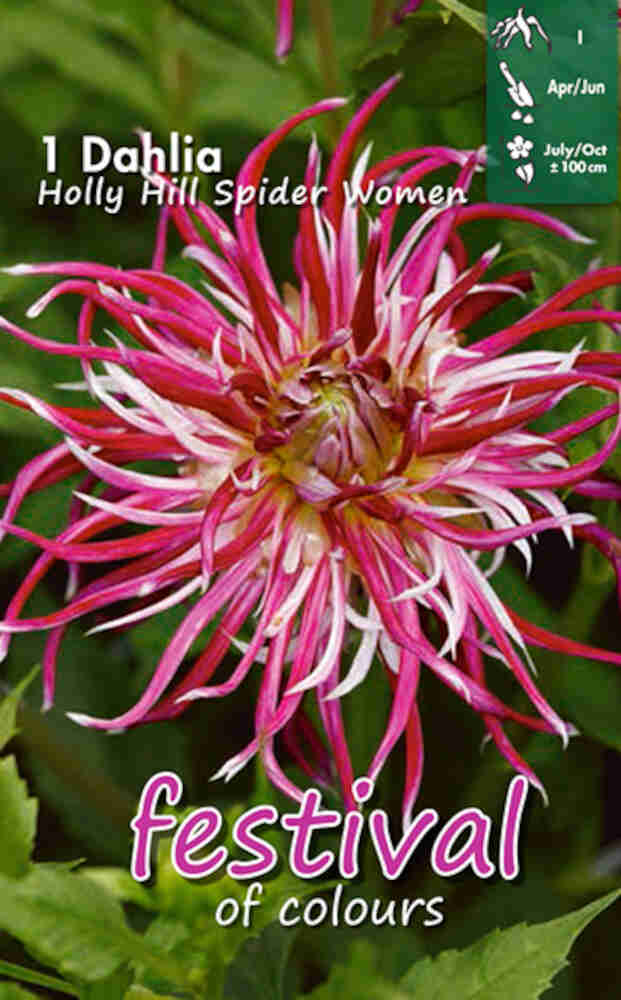 Dahlia Holly Hill Spider Women Cactus