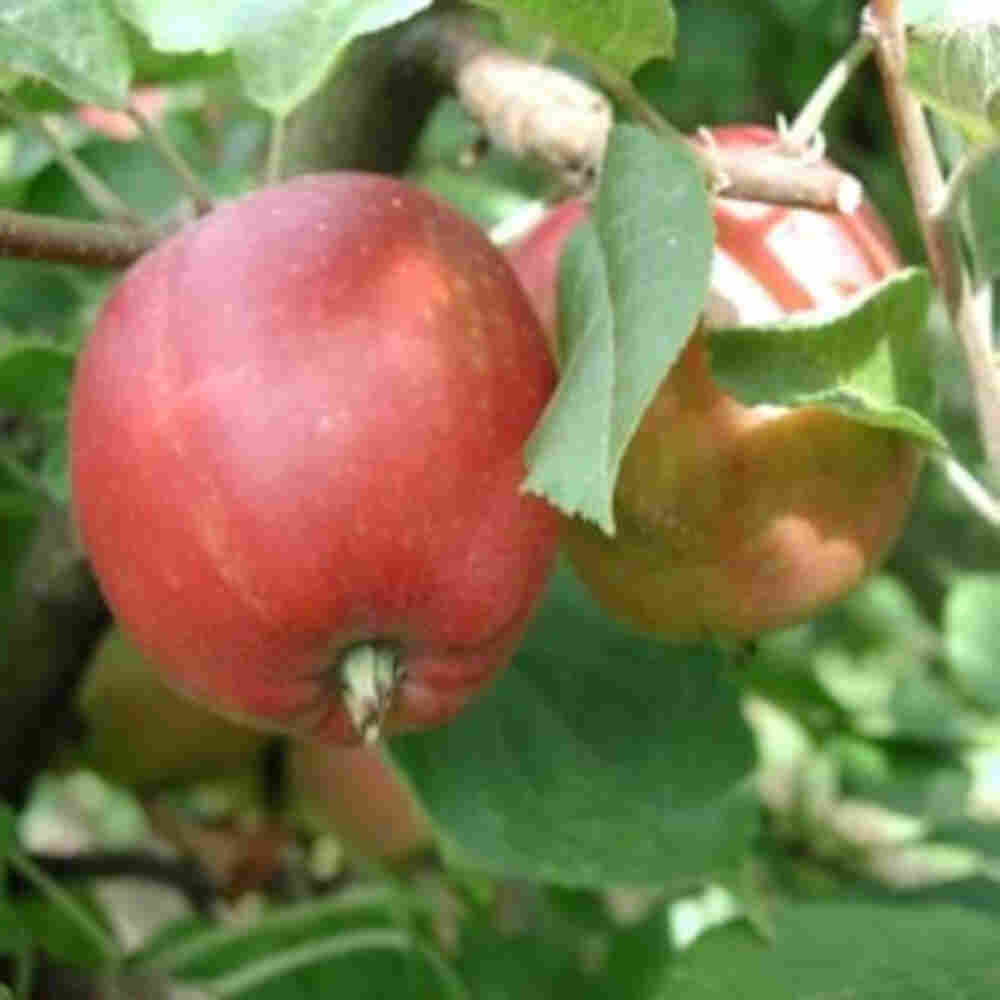 Æbletræ - Malus domestica 'Ildrød Pigeon'
