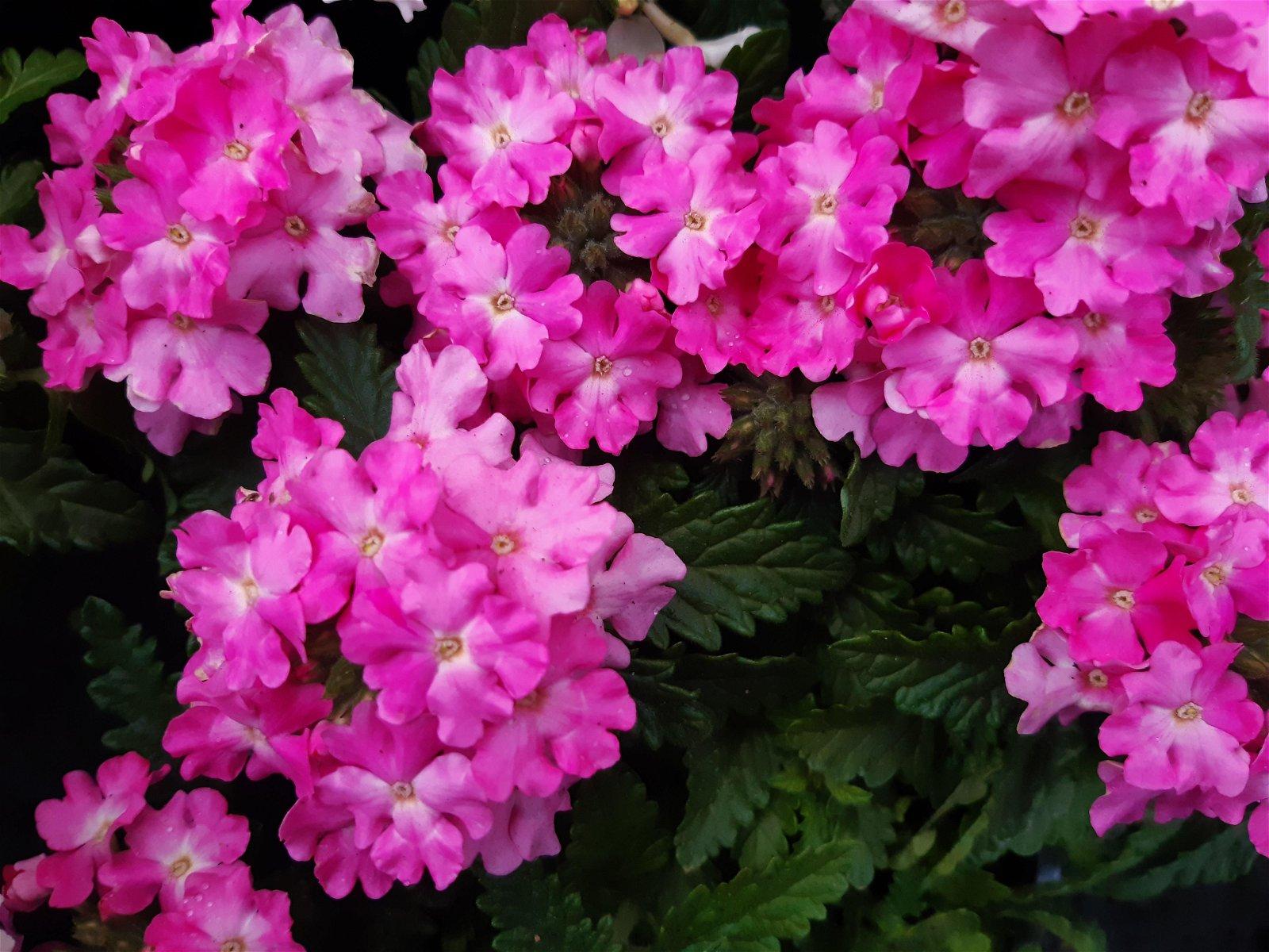 Krybende Verbena pink - Verbena repens