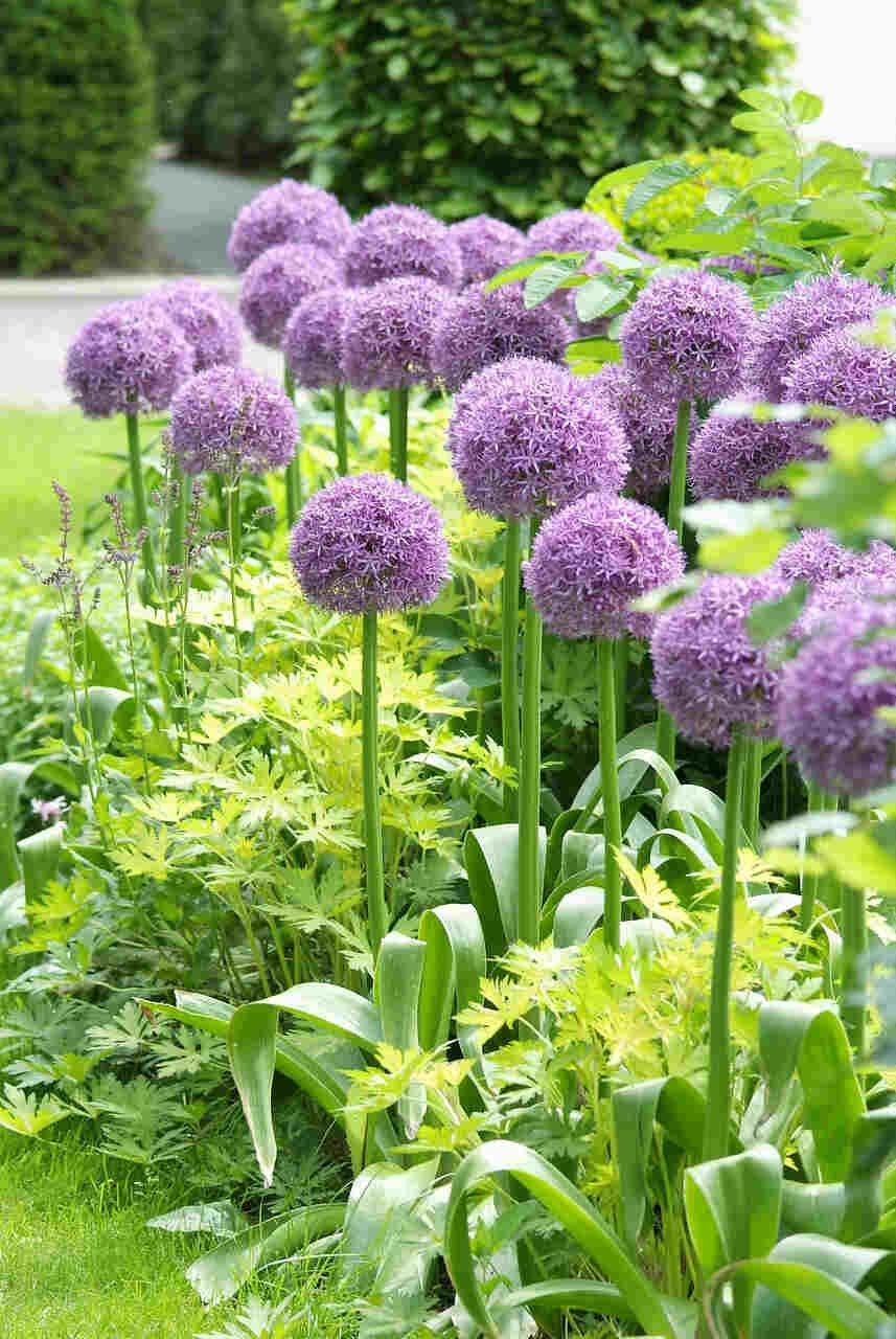 Prydløg - Allium  Globemaster (20/+)