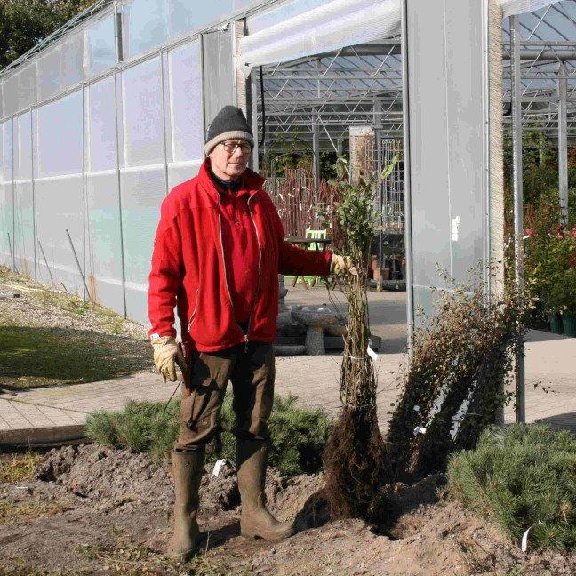 Ligusterhæk - Ligustrum vulgare 'Liga' 50-80cm
