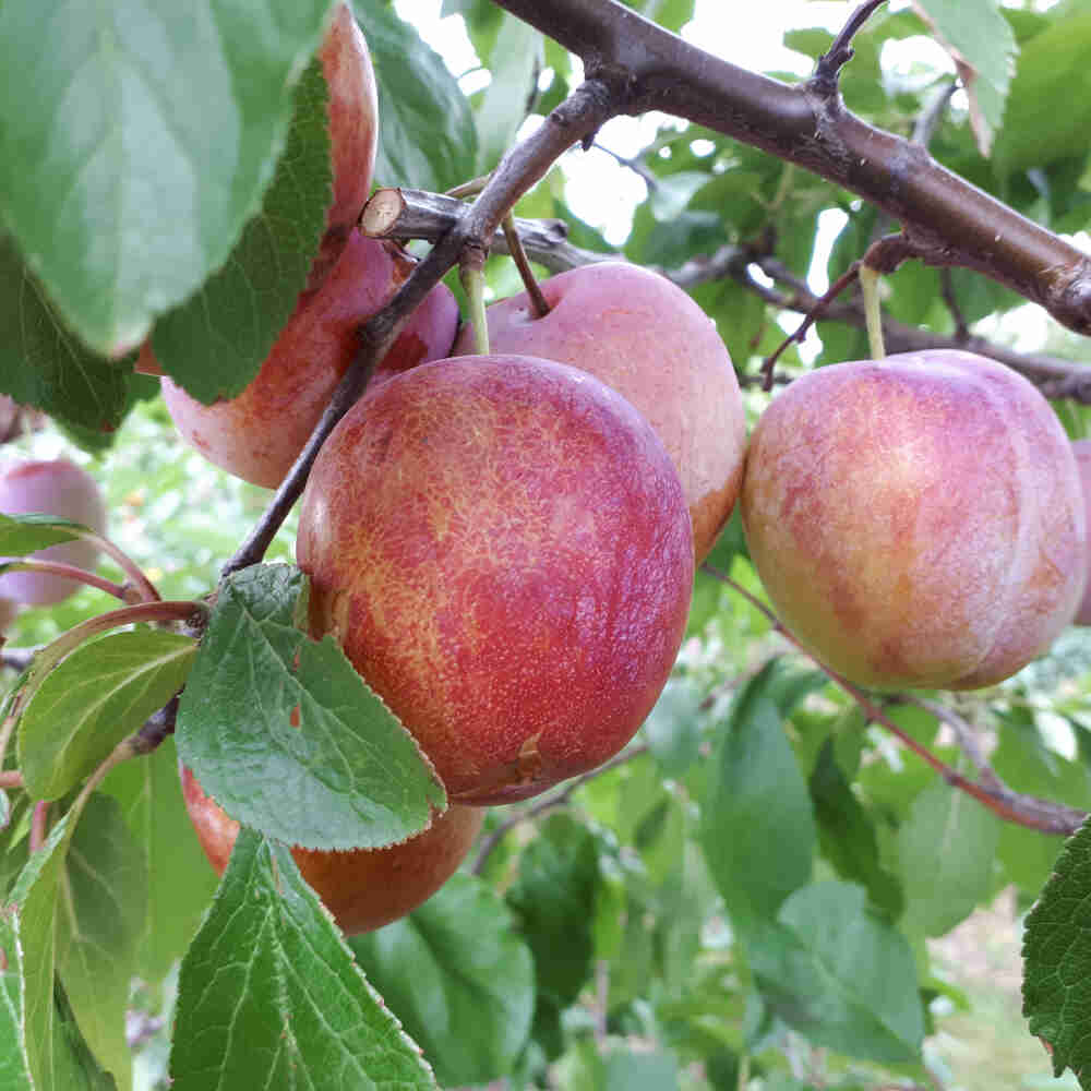 Blommetræ - Prunus domestica 'Excalibur'