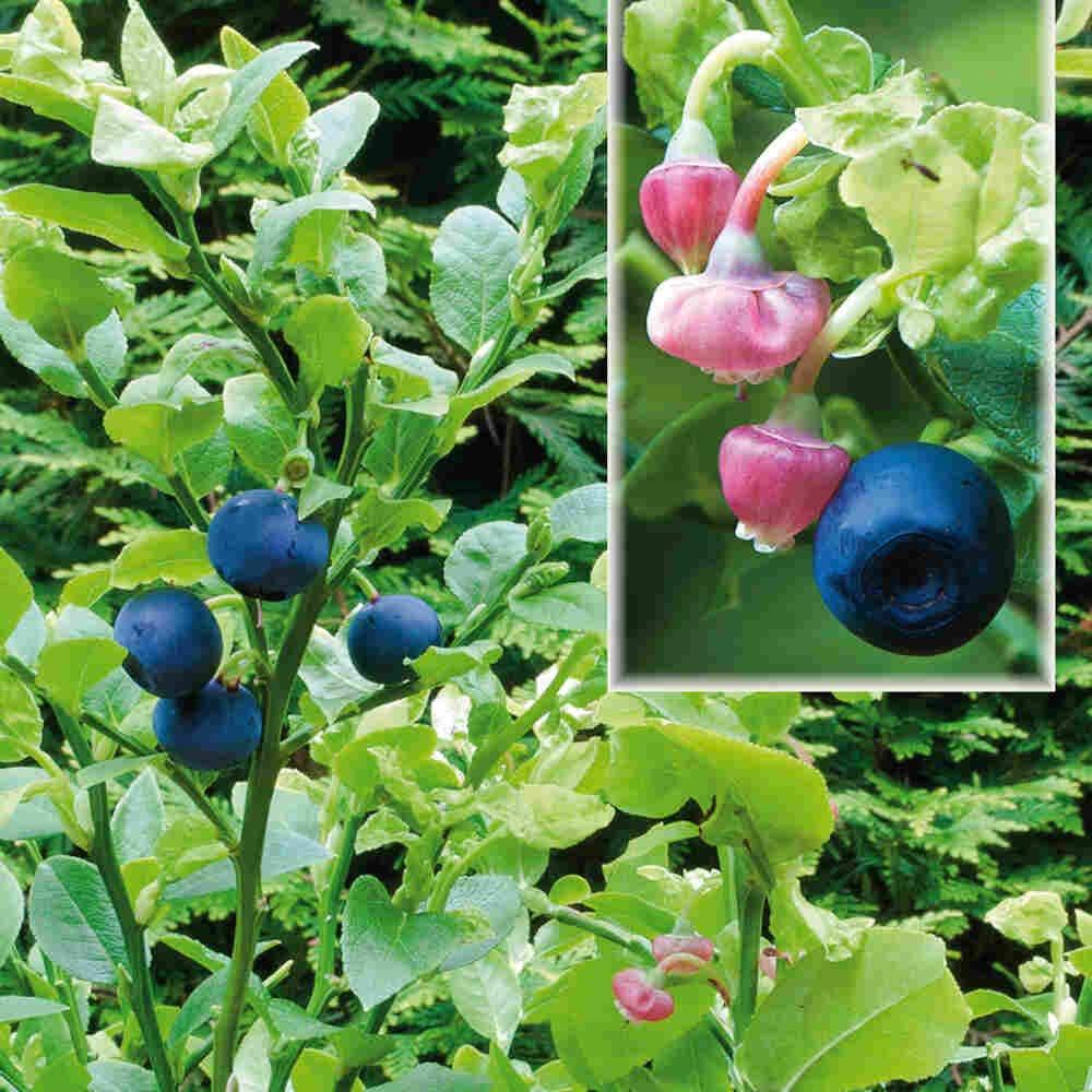 Vild blåbær - Vaccinium myrtillus