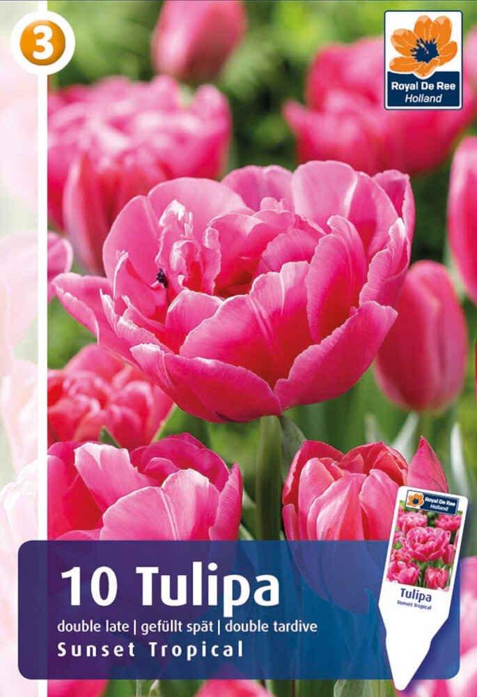 Tulipanløg - Tulipa Sunset Tropical 11/12