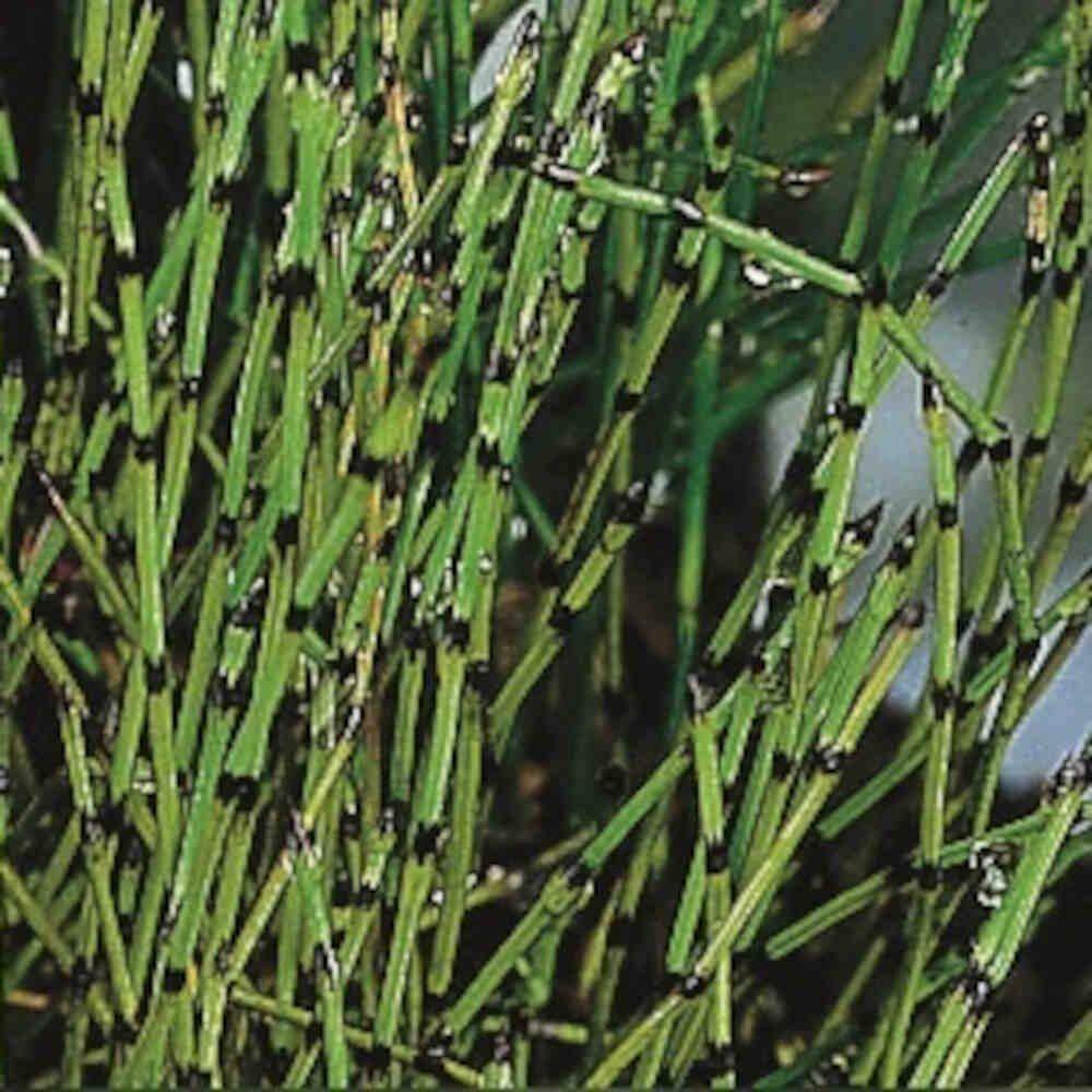 Equisetum scirpoides