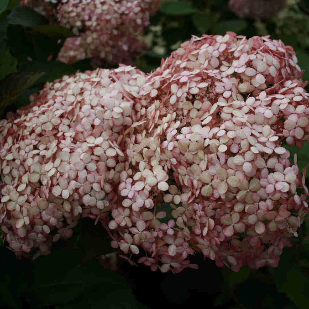 Hortensia - Hydrangea arborescens 'Pink Annabelle'