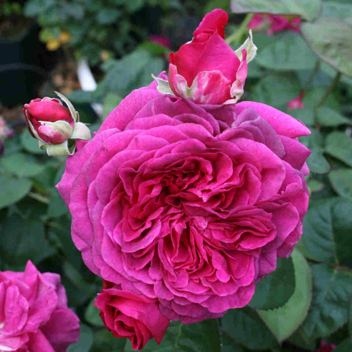 Rose 'Laudatio'