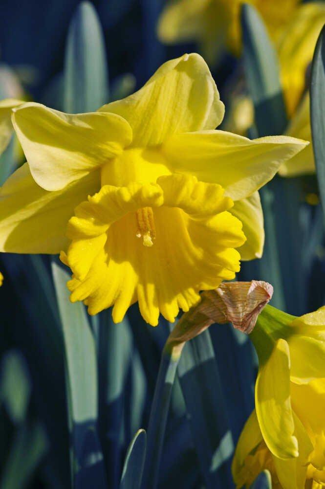 Påskeliljeløg - Narcissus 'Rijnveld's Early Sensasion (12/14) - 10stk