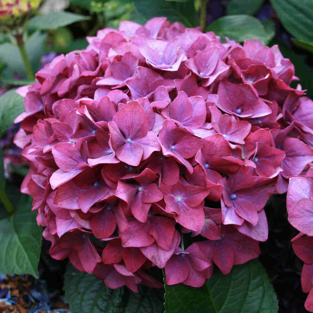 Hortensia - Hydrangea macrophylla 'Forever & ever Purple'