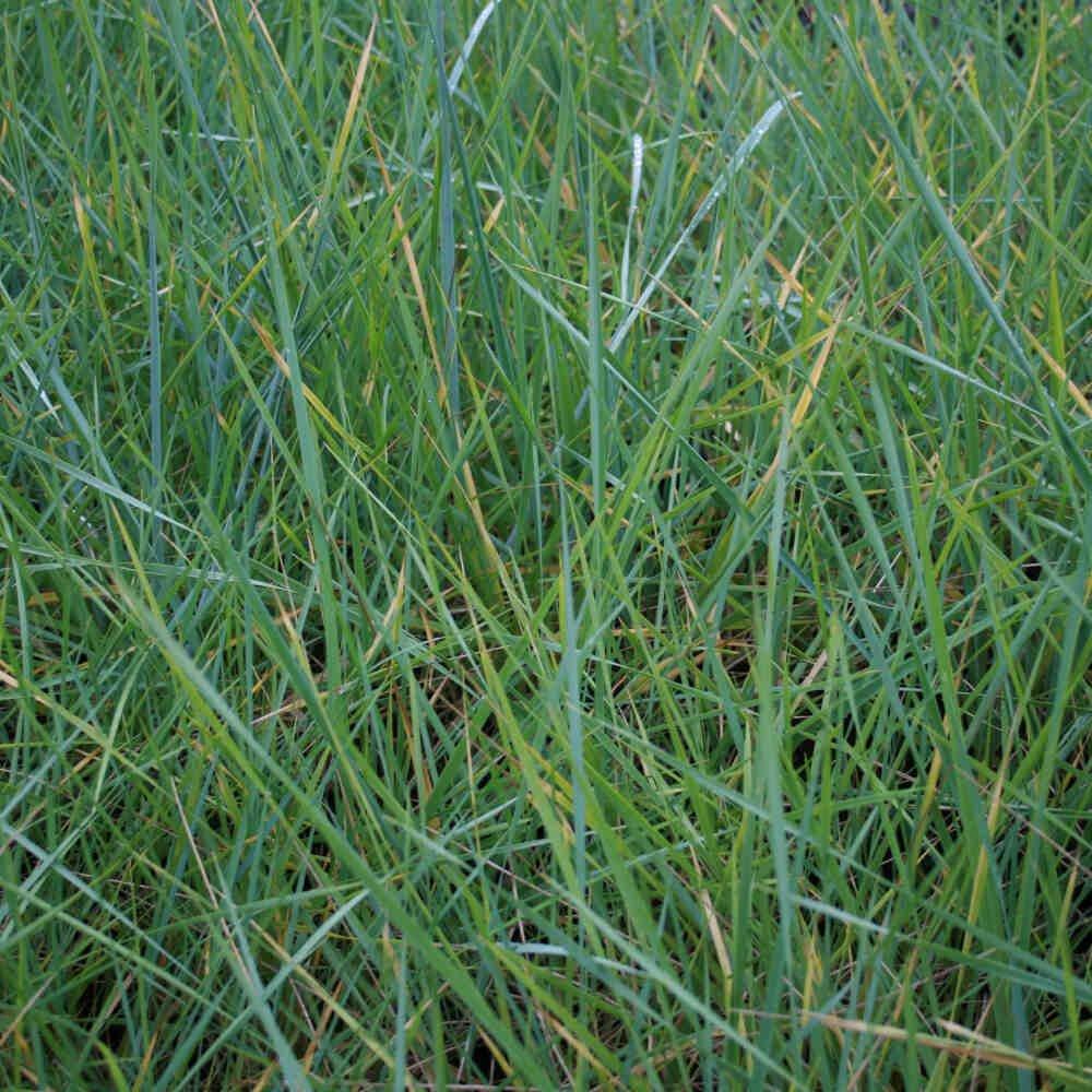 Almindelig marehalm Leymus arenaria til vestkysten