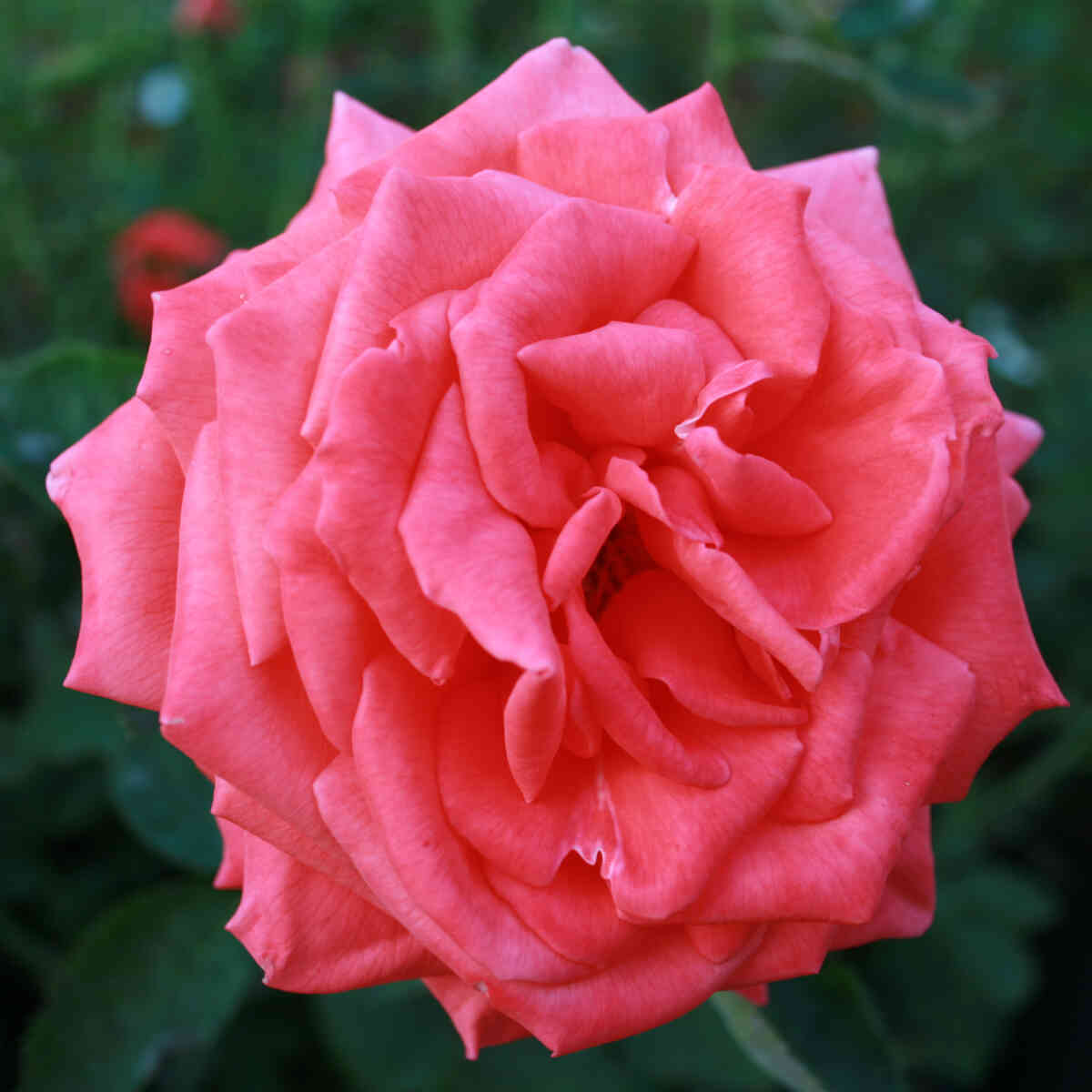 Rose 'Super Star'