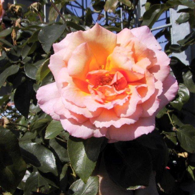 Slyngrose Compassion i blomst