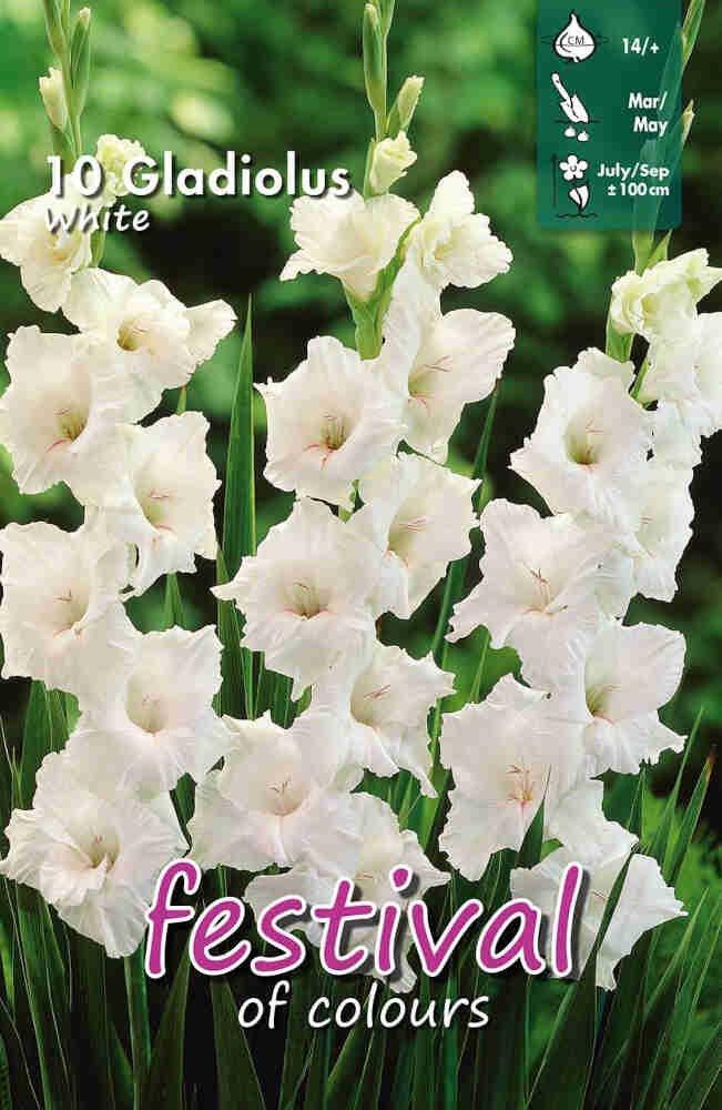 Gladiolus White, 7 stk