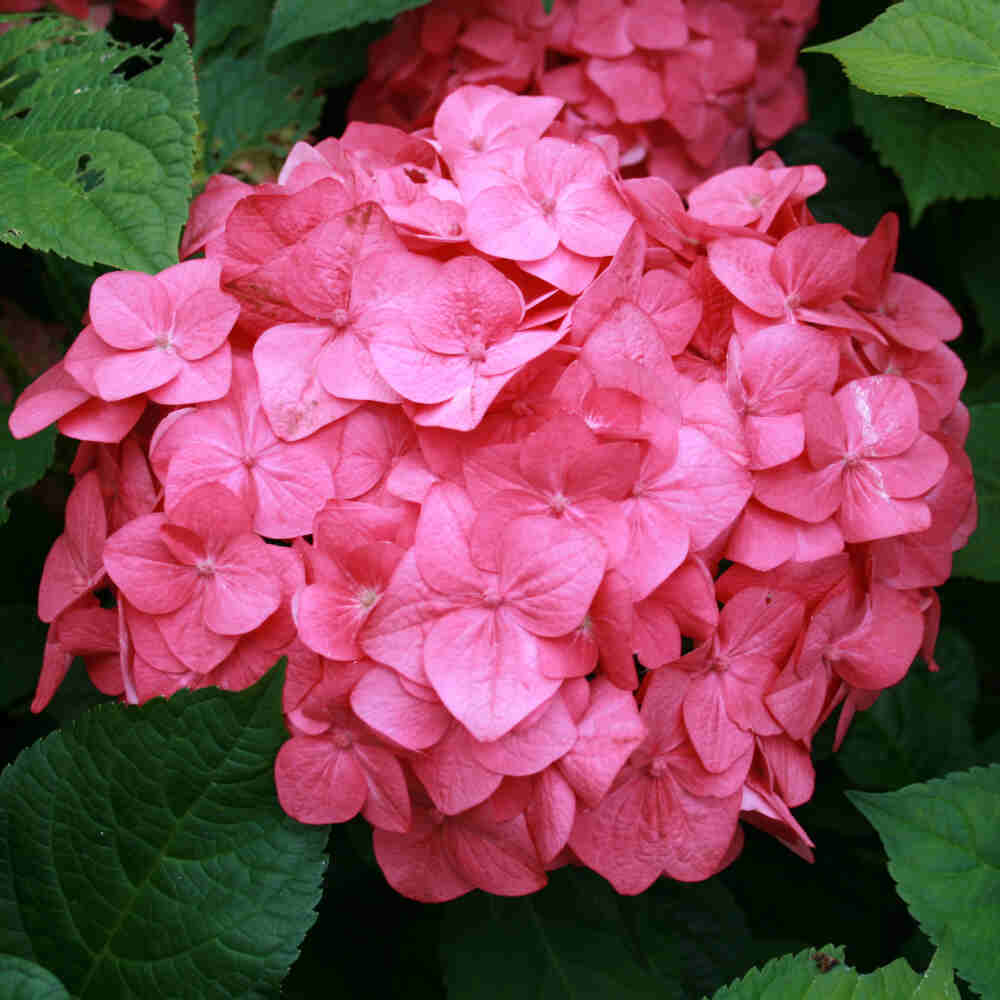 Hortensia - Hydrangea macrophylla 'Endless Summer Rosa'