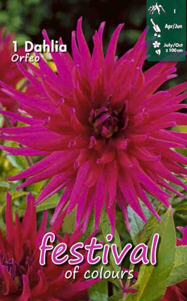 Dahlia Orfeo (Semi)Cactus