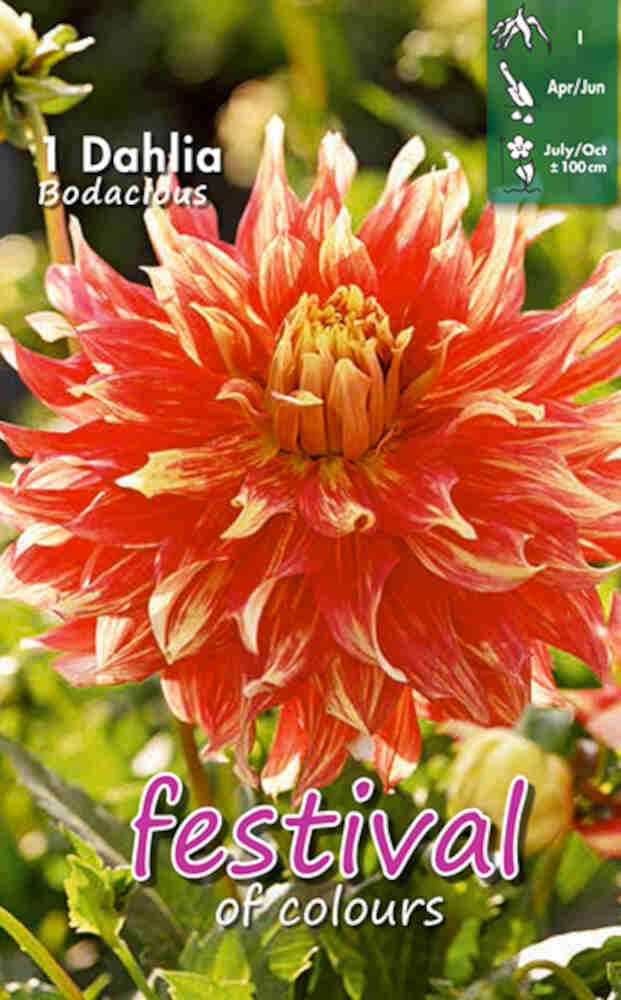 Dahlia Bodacious Decorative