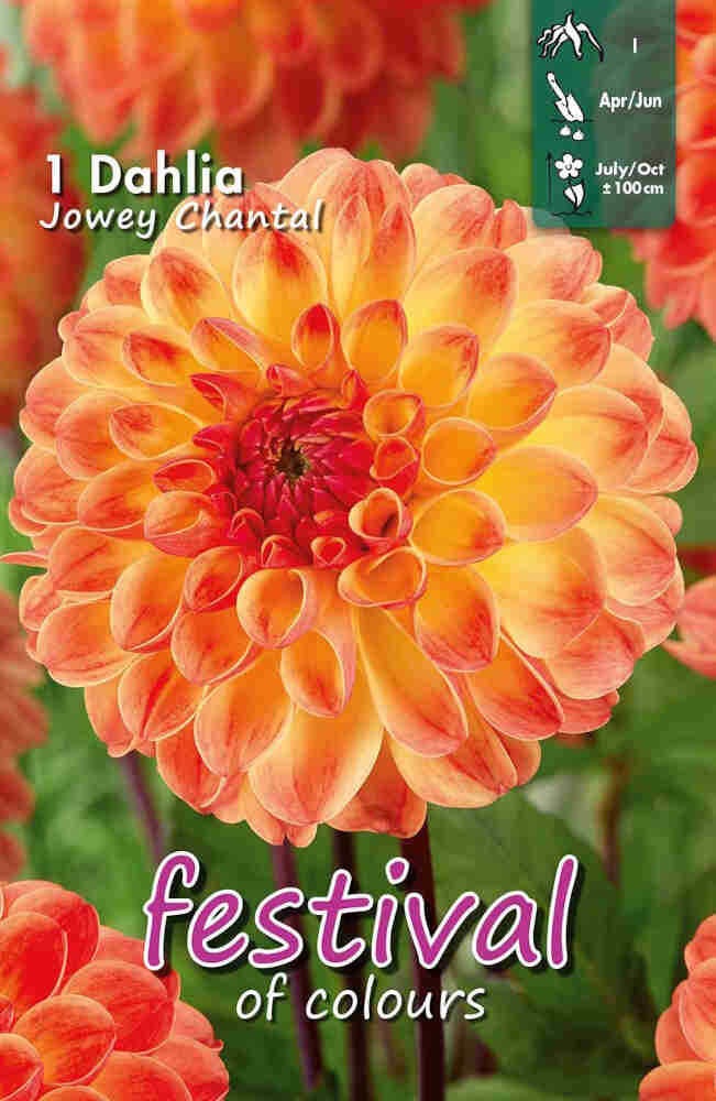 Dahlia Jowey Chantal Ball