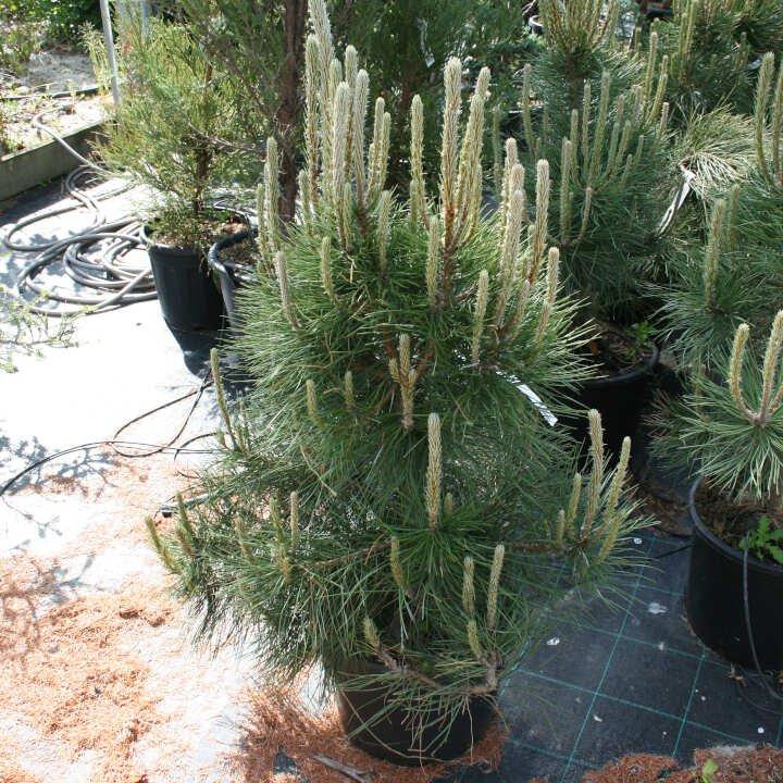 Østrisk fyr - Pinus nigra