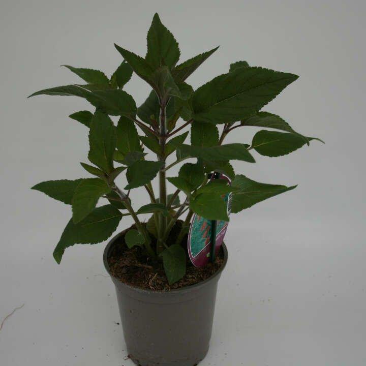 Ananas salvie - Salvia elegans 'Scarlet pineapple' - 10cm potte