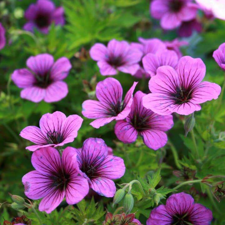 Storkenæb - Geranium psilostemon 'J.S.Matu Vu'®