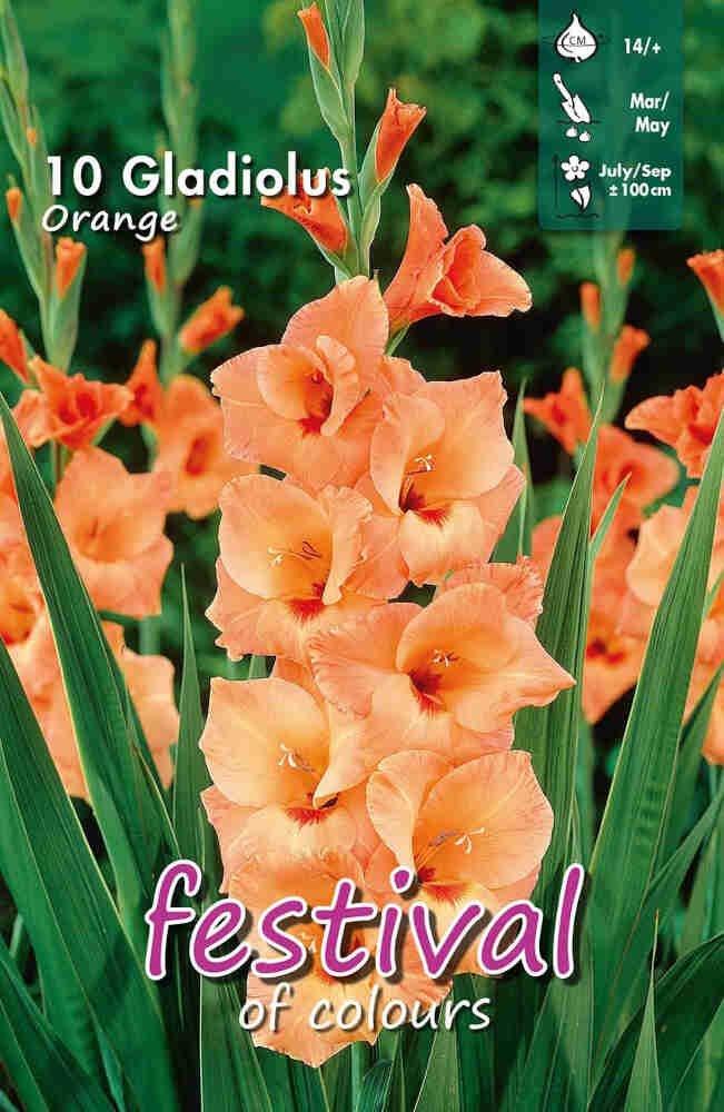 Gladiolus Orange, 7 stk