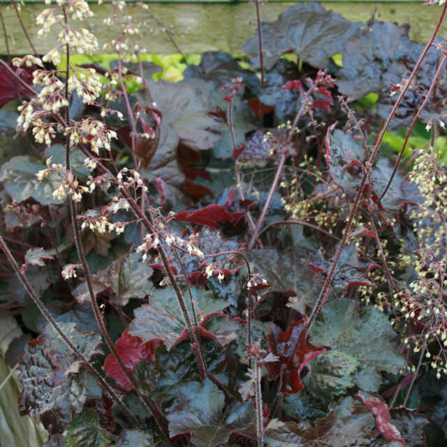 Alunrod - Heuchera micrantha 'Palace Purple'