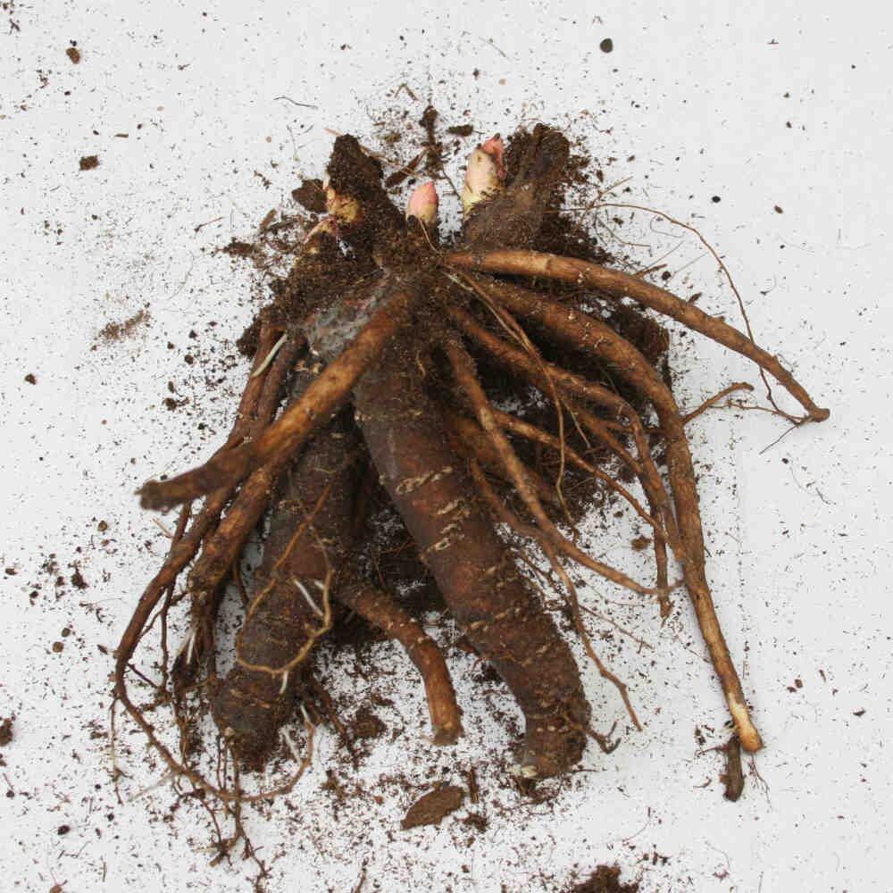 Pæon knold - Paeonia lactiflora 'Lady Alexandra Duff'