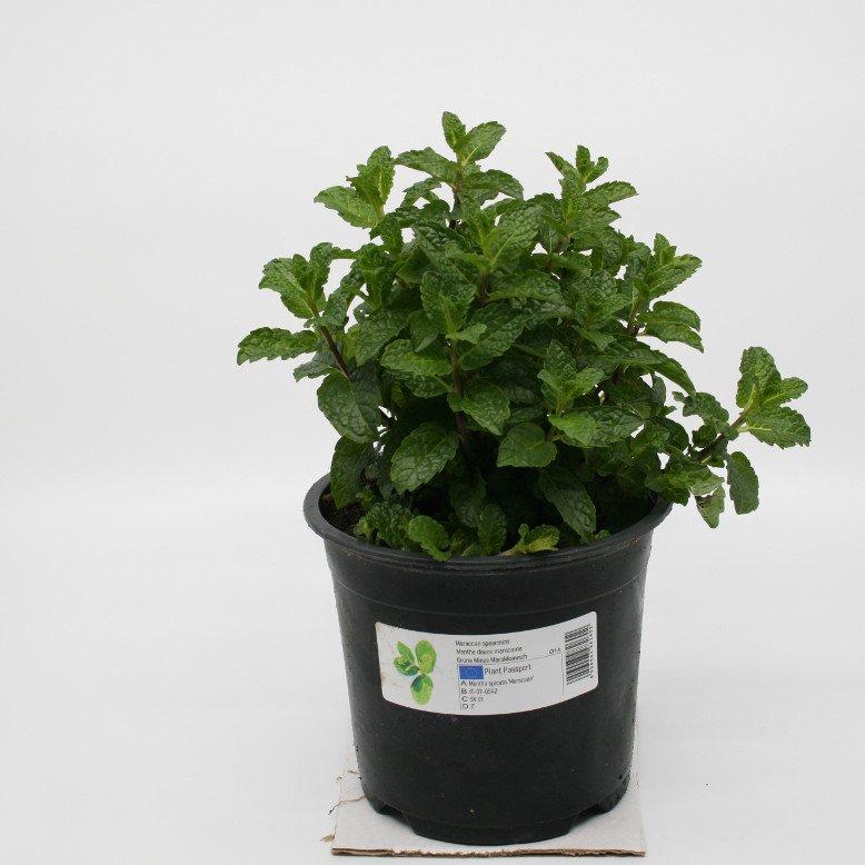 Mynte marokkansk - Mentha spicata - 14cm potte