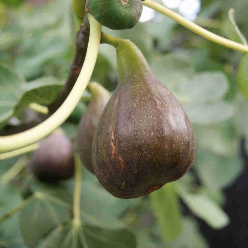 Figen - Ficus 'Brown turkey'