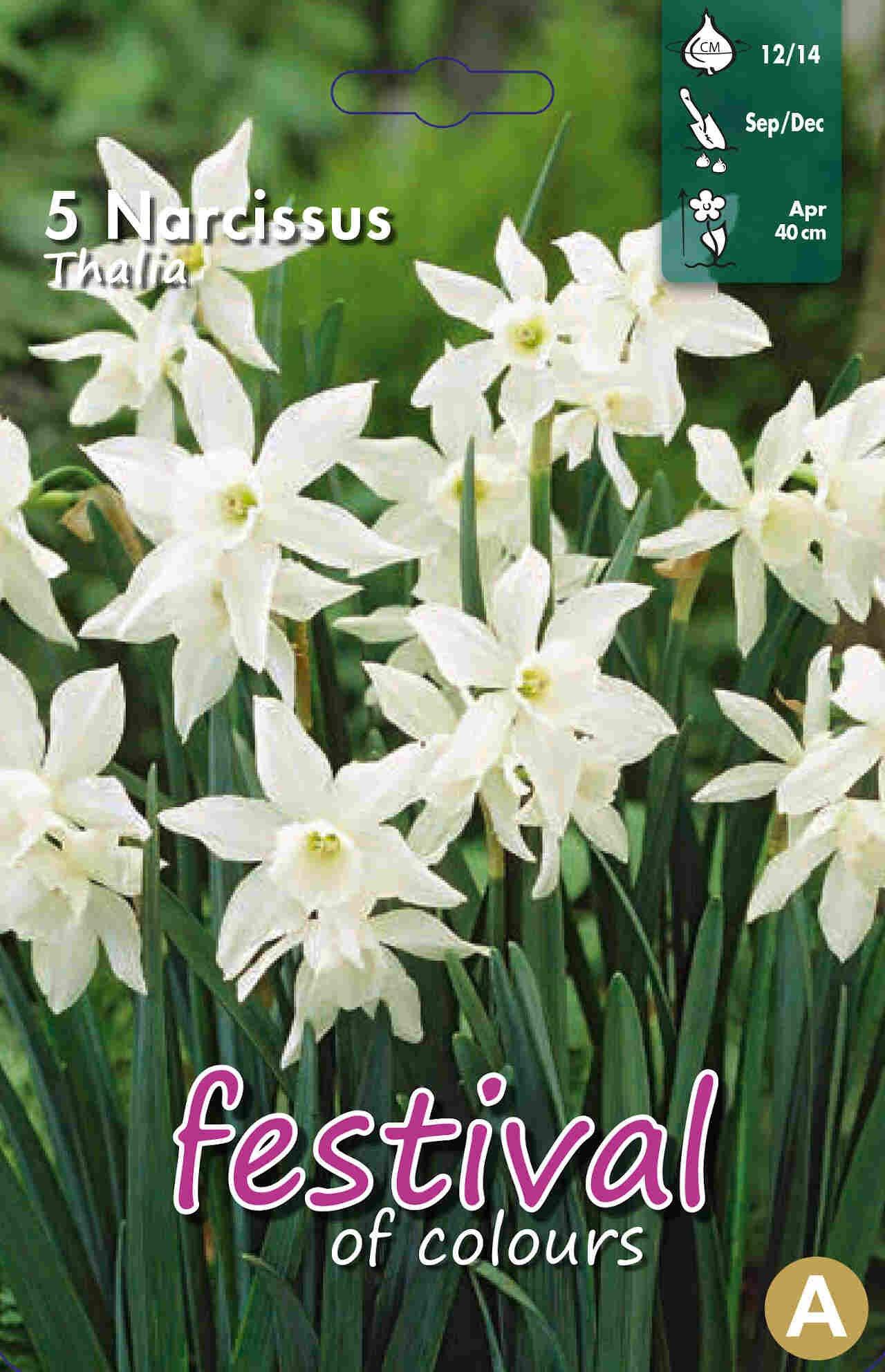 Påskelilje løg - Narcissus Thalia 12/14