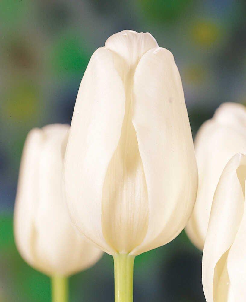 Tulipanløg - Tulipa  Clearwater (12/+) - 10stk