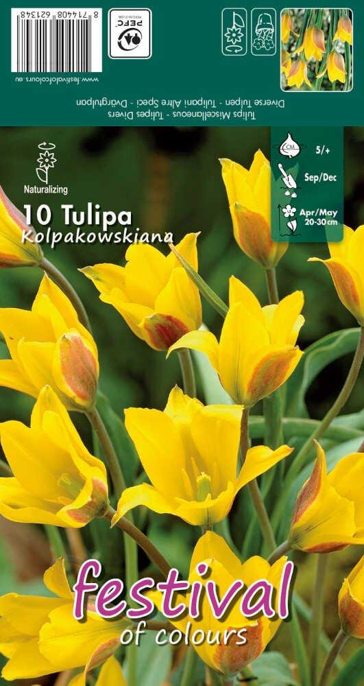 Tulipanløg - Tulipa kolpakowskiana 5/+