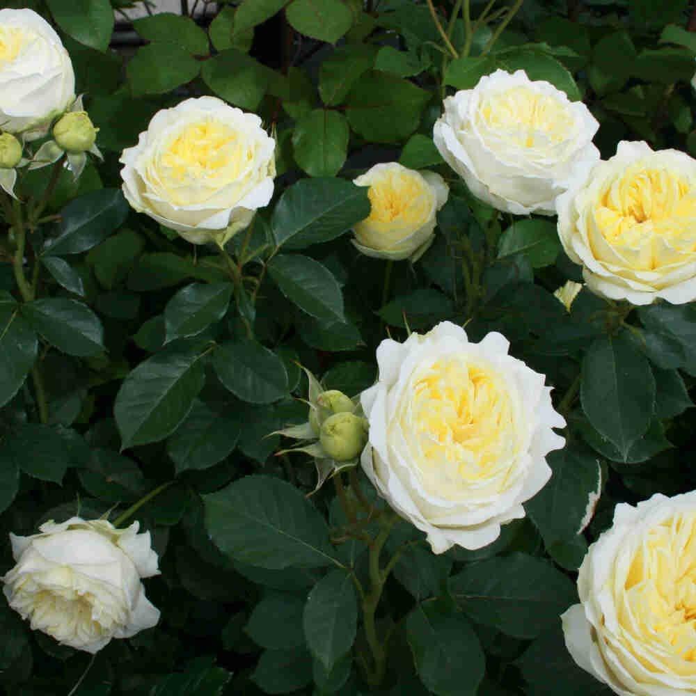 Rose 'Kronprinsesse Mary'