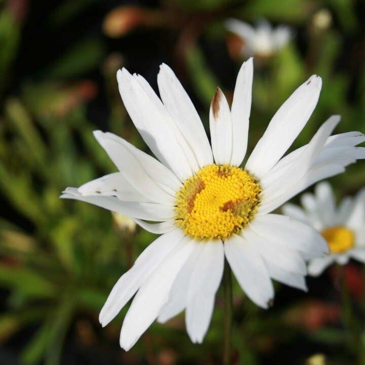 Kæmpemargerit - Leucanthemum s. 'Sølvprincessen'
