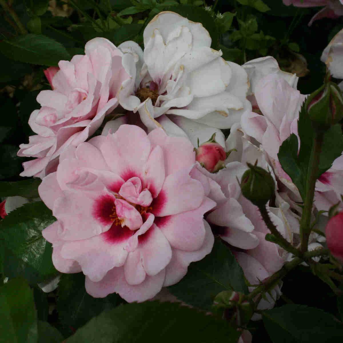 Blomster buket i Angel Eyes Hulthemia hybrid