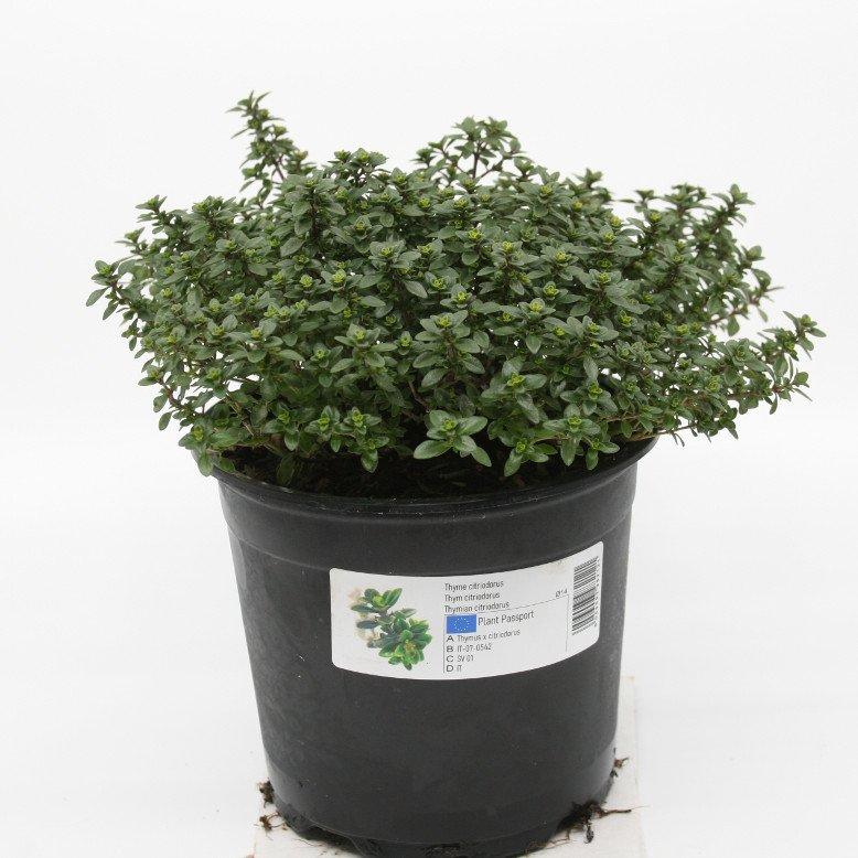 Timian Citrontimian - Thymus citriodorus - 14cm potte