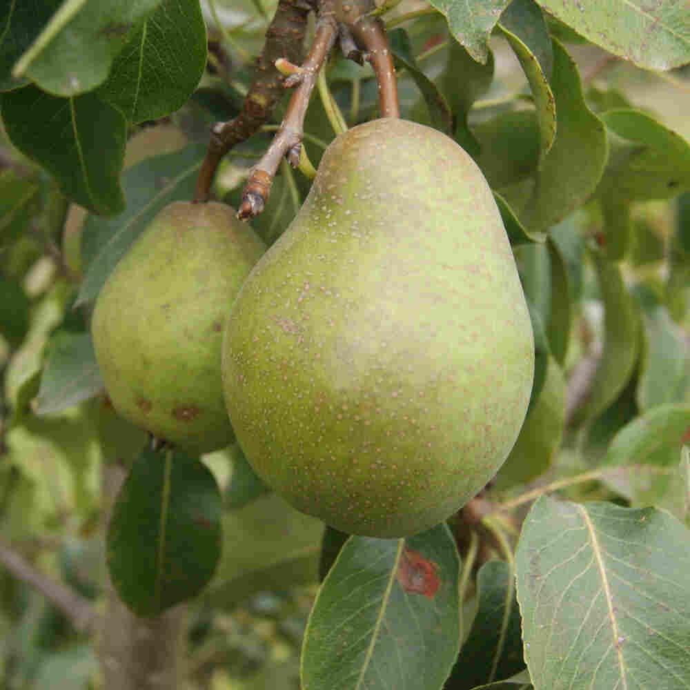 Pæretræ - Pyrus communis 'Grev Moltke'