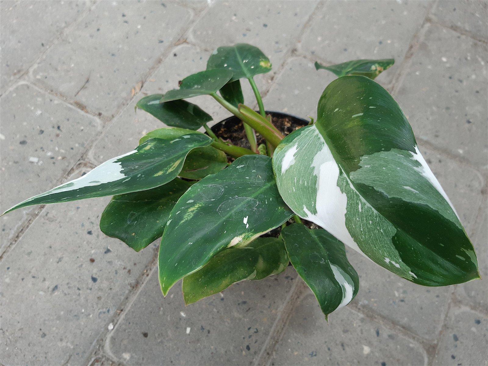 Filodendron - Philodendron 'white princess'