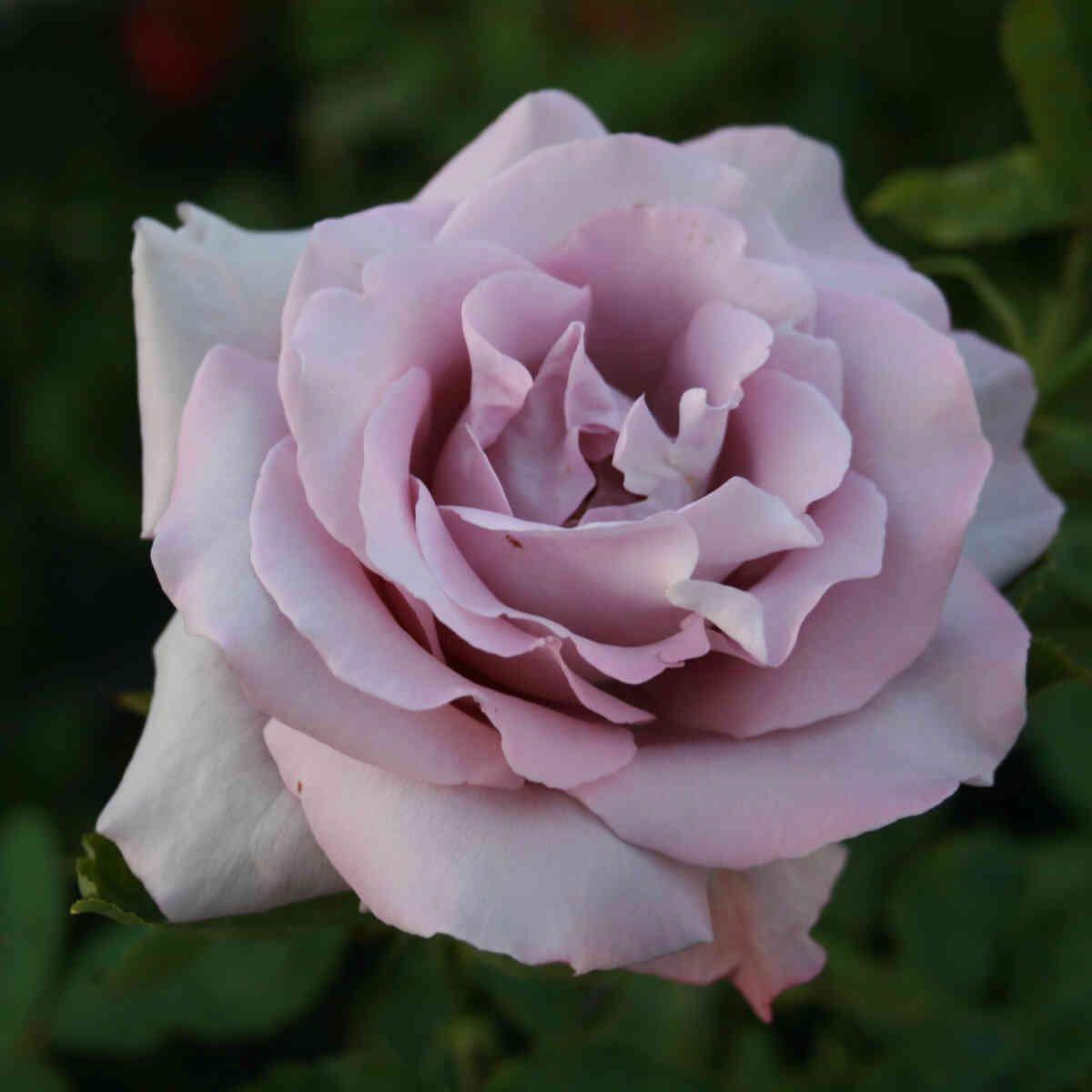 Rose 'Sprogø'