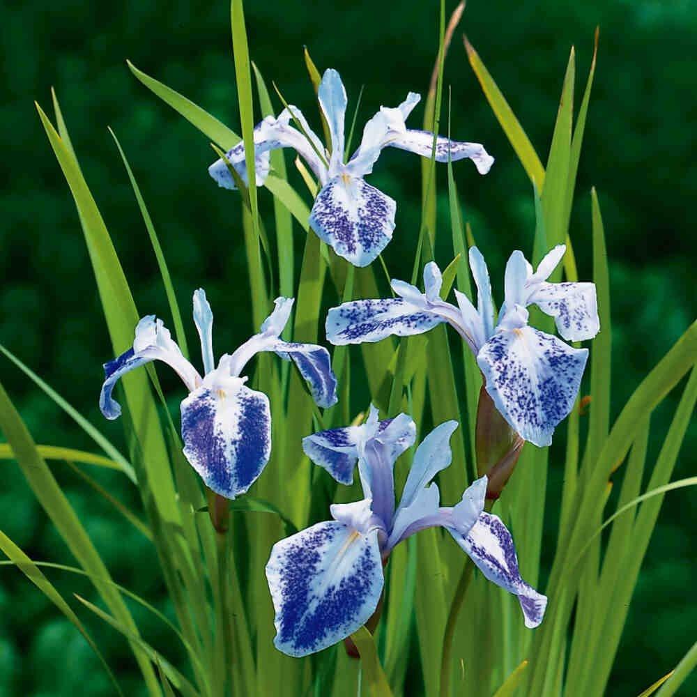 Iris laevigata 'Mottled Beauty'