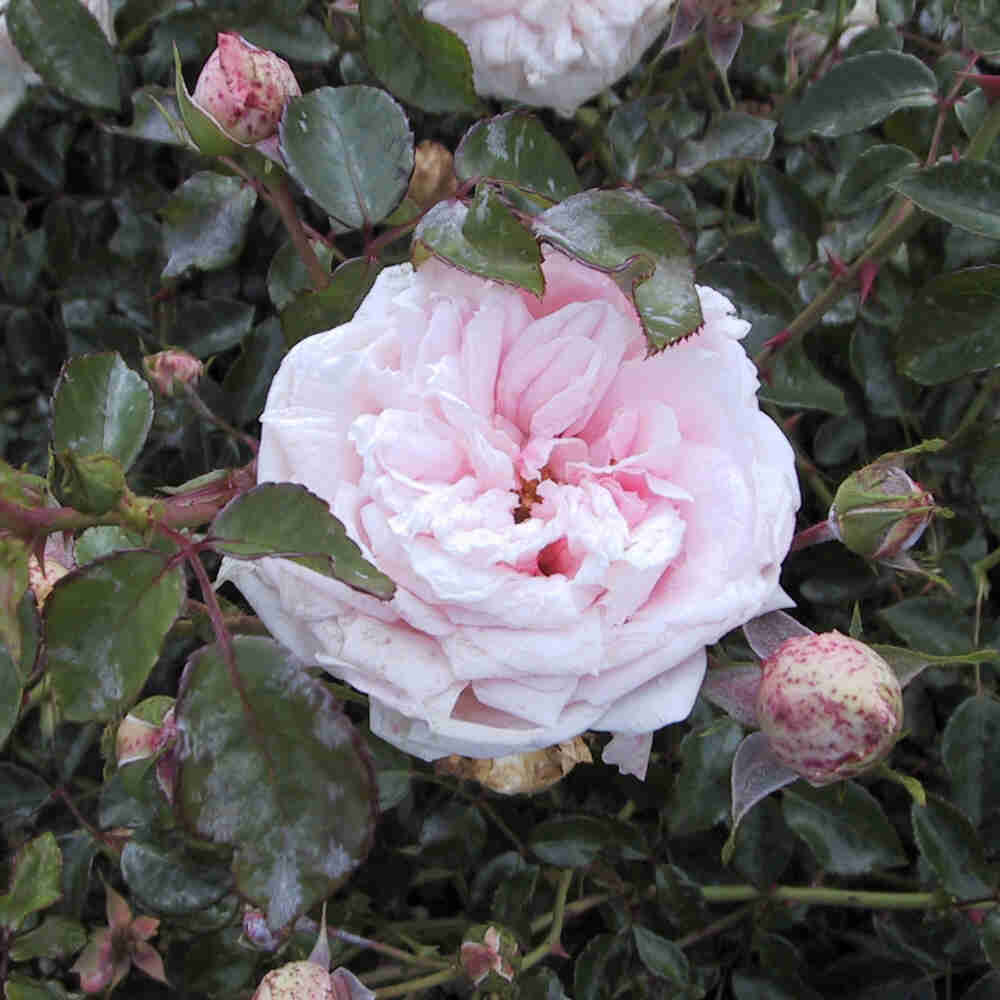 Stor lyserød blomst i Awakening slyngrose