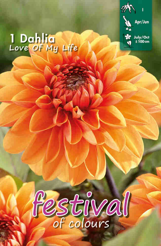 Dahlia Love of My Life Small-flowerd, NYHED