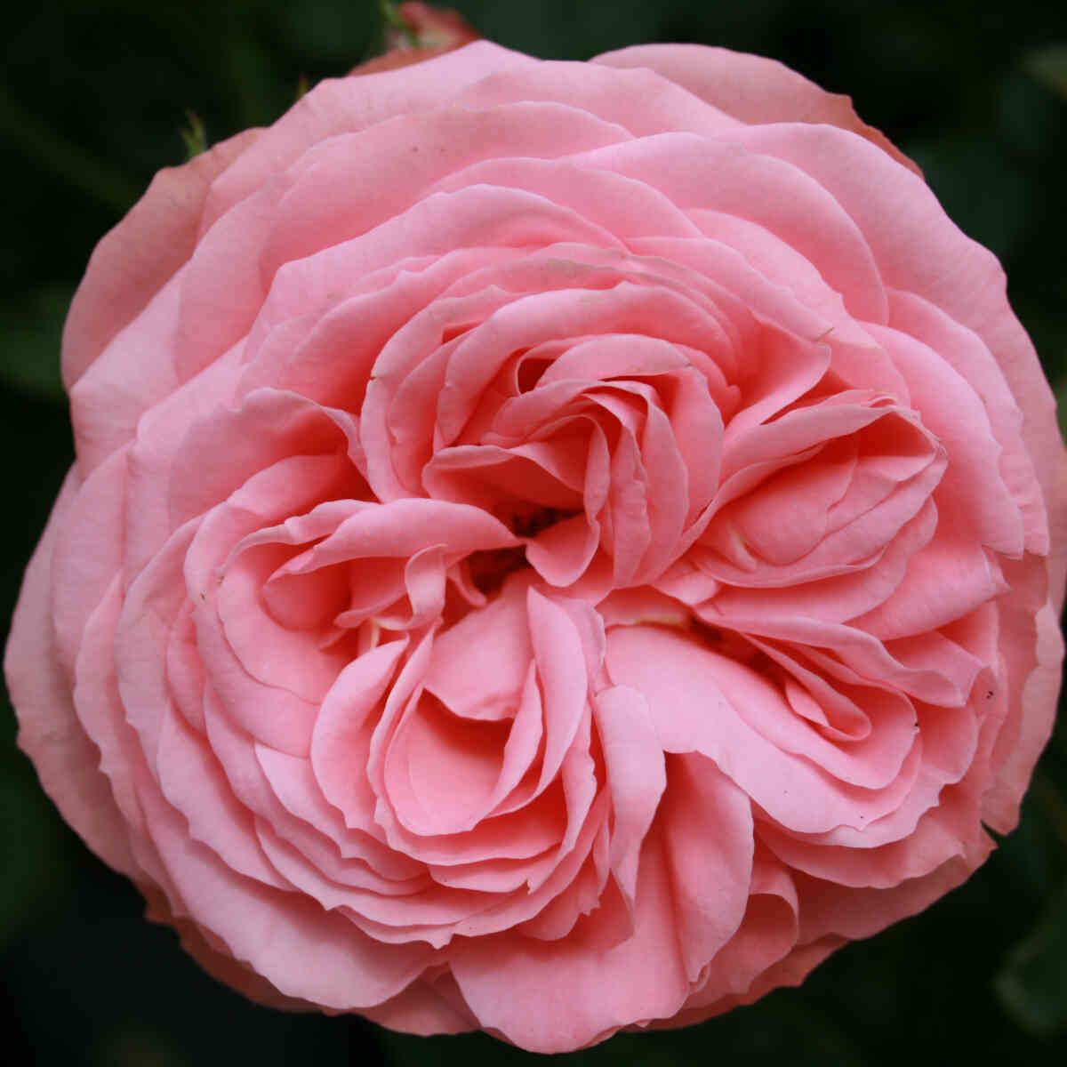 Rose 'What a wonderful World'