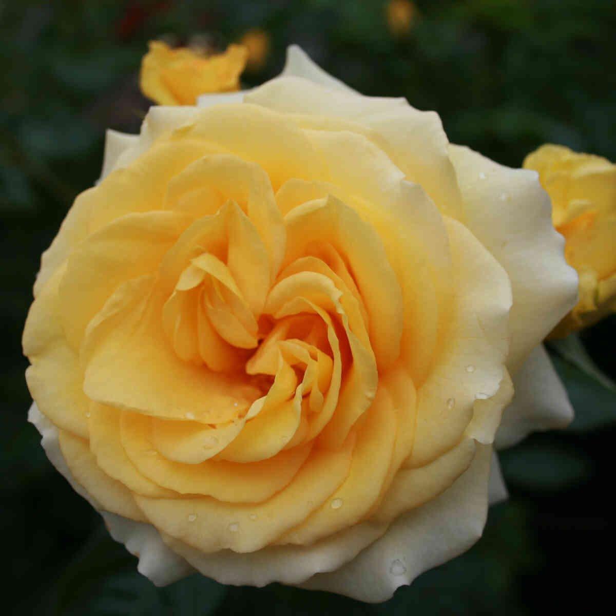 Rose 'Sommergold'