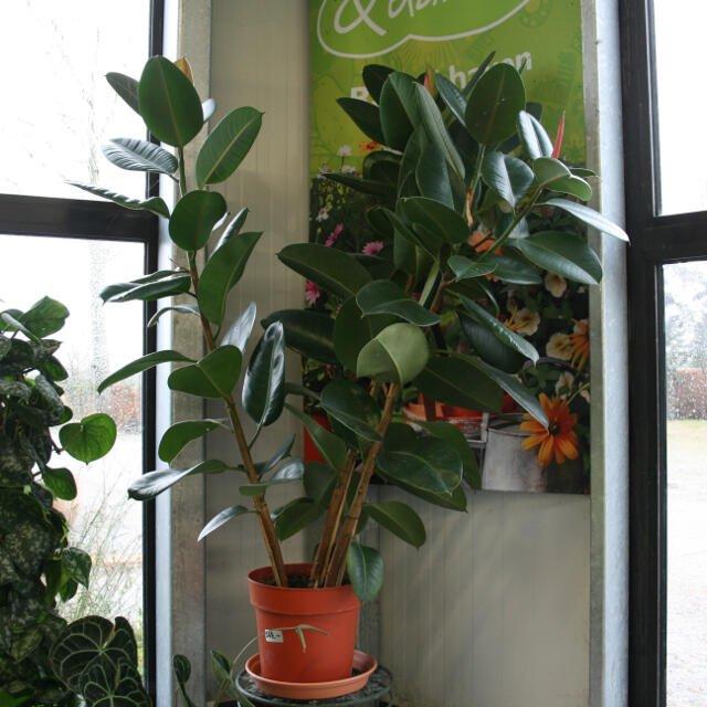 Gummifigen - Ficus robusta