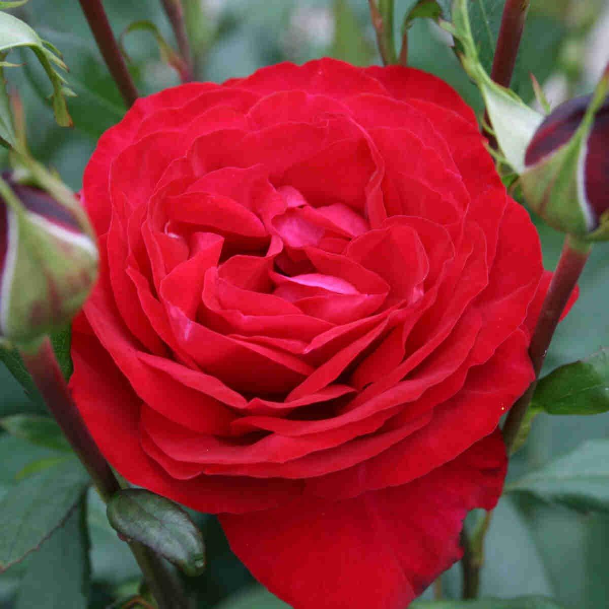 Mørke rød Birthe Kjær renaissance rose