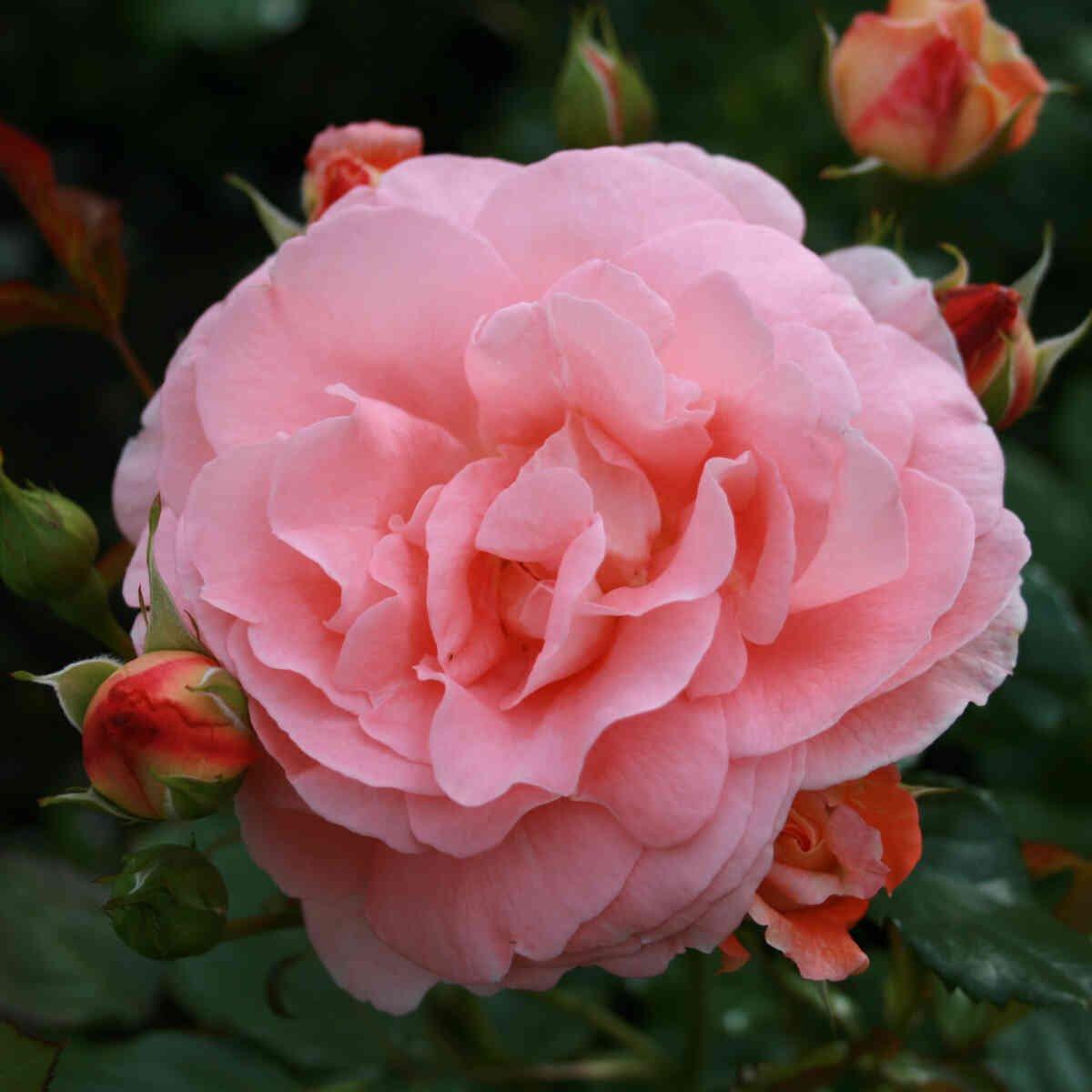 Stor blomst og knopper i Bonita renaissance