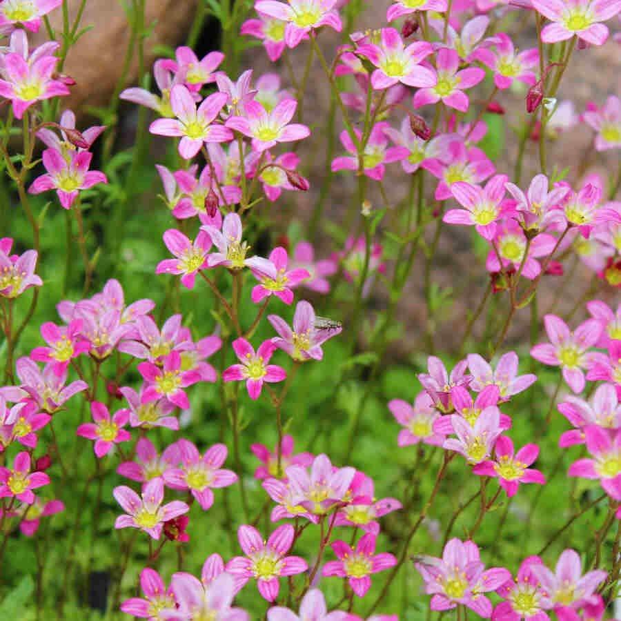 Stenbræk - Saxifraga  'Carpet Pink, Purple og White'