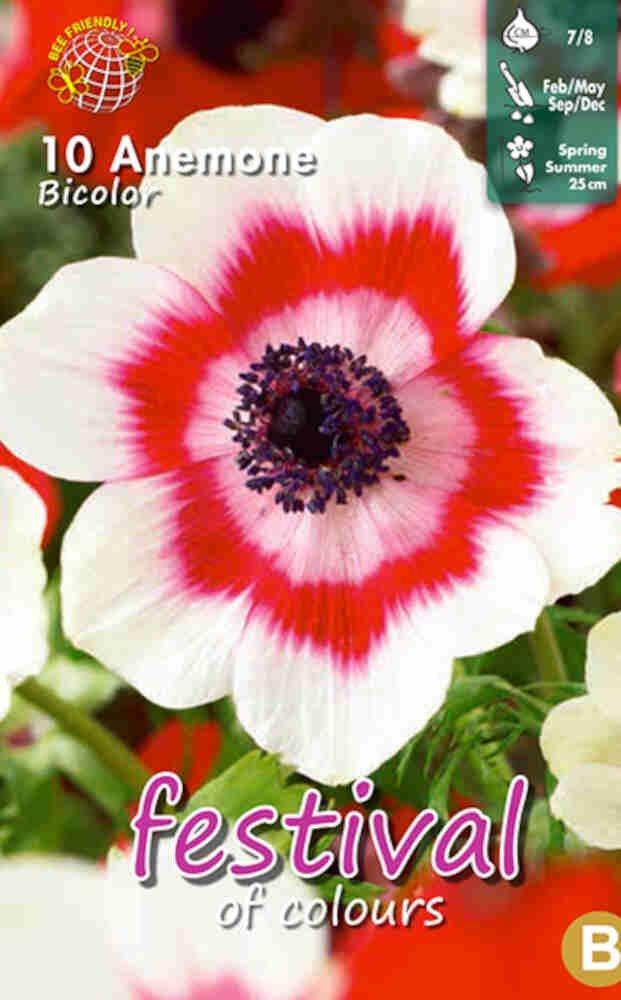 Anemone Bicolor 7/8