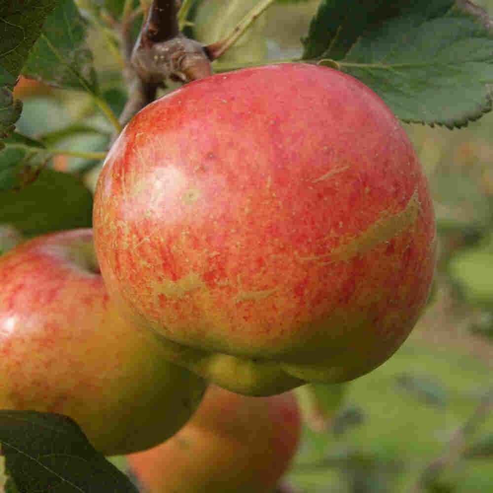Æbletræ - Malus domestica 'Rubinola'
